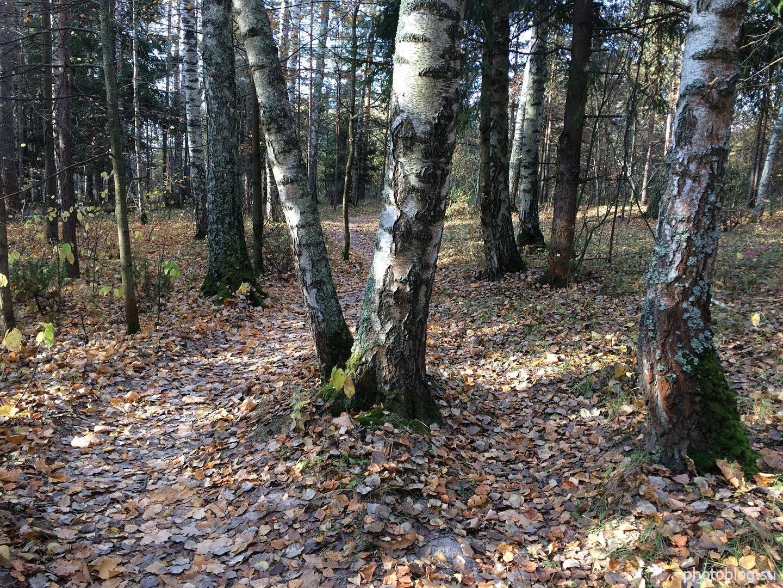 V-образное дерево на тропинке в осеннем лесу